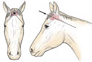 CDFA   AHFSS   BUREAU OF LIVESTOCK IDENTIFICATION   CATTLE   HORSE EMERGENCY EUTHANSIA