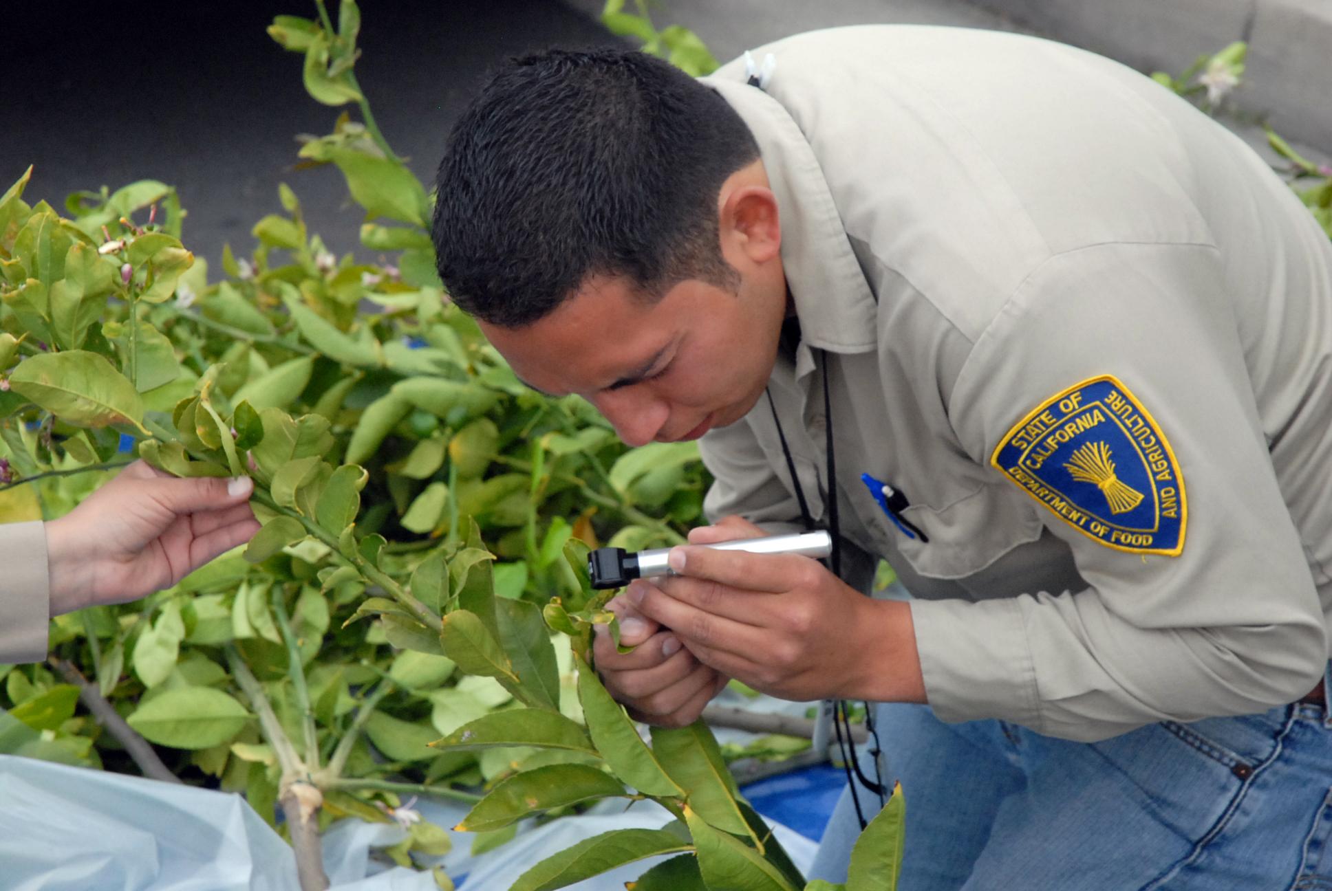 Alex Muniz, Senior Environmental Scientist, Supervisor, Inspecting citrus leave for Asian citrus psyllid