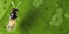Tamarixia Radiata. Image provided by UC Riverside