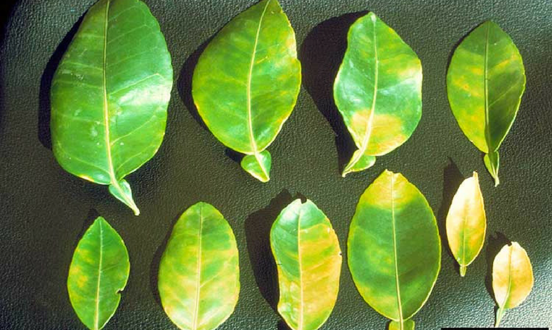 Leaf mottle on grapefruit, a characteristic symptom caused by Huanglongbing
