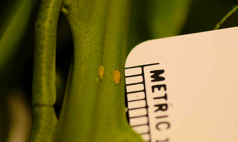 Asian citrus psyllid on plant with ruler for scale