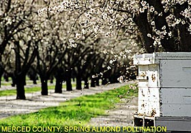 Merced County: Almond Pollination
