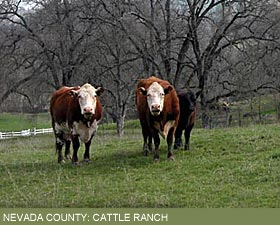 Nevada County: Cattle Ranch