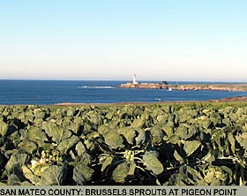 San Mateo County: Brussel Sprouts