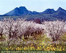Sutter County: Plum Orchard
