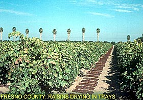 Fresno County: Raisins drying in trays