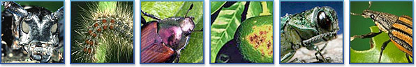 asian longhorned beetle, gypsy moth, japanese beetle, citrus canker, emerald ask borer, diaprepes root weevil