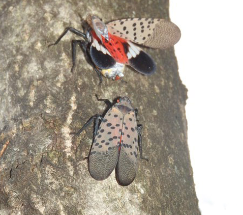 Two adult spotted lanternflies