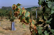 PD symptoms on vineyard