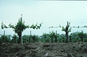 PD symptoms slow spring vineyard growth