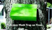 Gypsy Moth Trapping photo