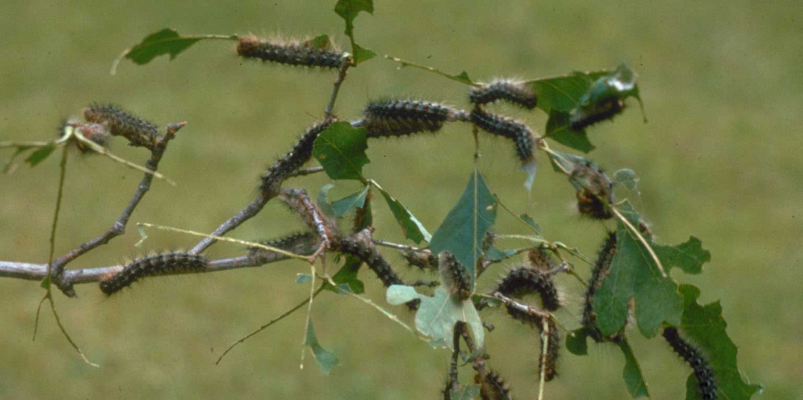 Caterpillars Defoliation Trees
