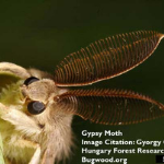 Adult Gypsy Moth (Photo Credit: Gyorgy Csoka, Hungary Forest Research Institute, Bugwood.org)