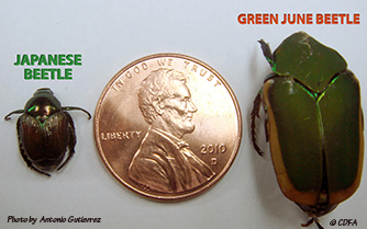 Comparison between Japanese Beetle and Green June Beetle