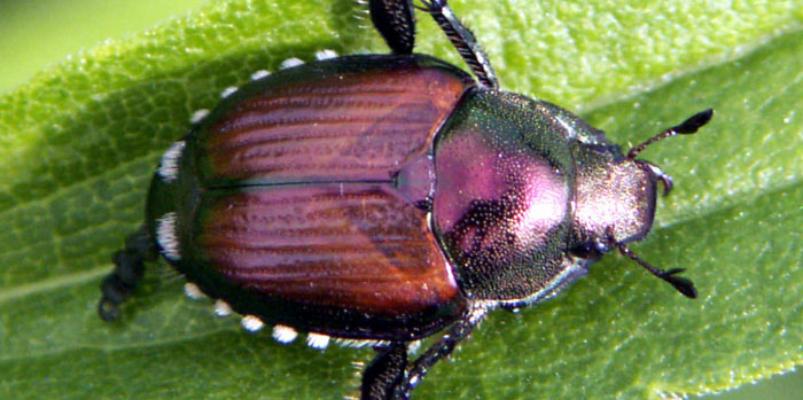 Cdfa Plant Health Japanese Beetle