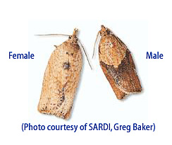 Light Brown Apple Moth adults, female (left) and male (right).