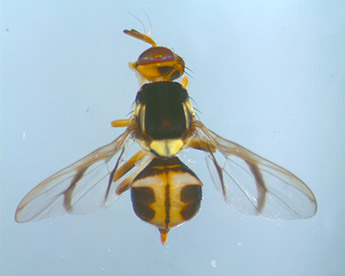 White Striped Fruit Fly