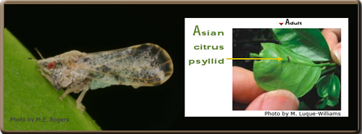 Asian Citrus Psyllid Profile
