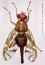 Mexican Fruit Fly Pest Profile