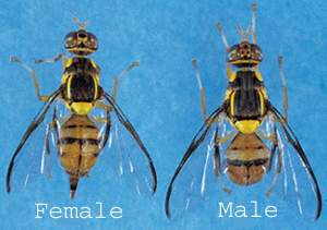 Oriental Fruit Fly Profile