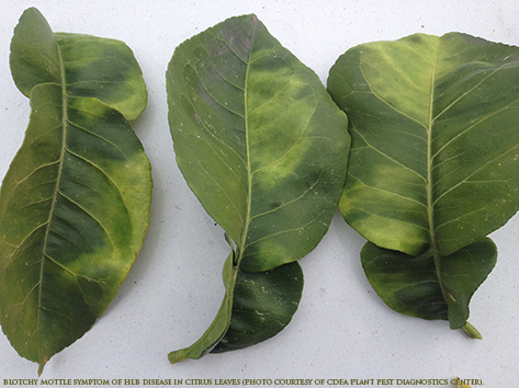 Blotchy Mottle Symptom of HLB disease in Citrus leaves (Photo courtesy of CDFA Plant Pest Diagnostics Center)