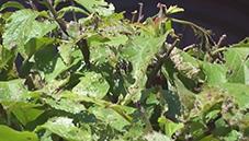 japanese beetle eradication image