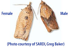 male light brown apple moth