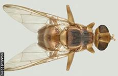 Malaysian Fruit Fly