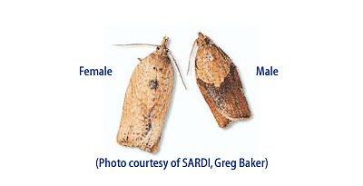 Female and Male Adult Light Brown Apple Moths (Photo courtesy of Greg Baker, So. Australian Research & Development Institute)