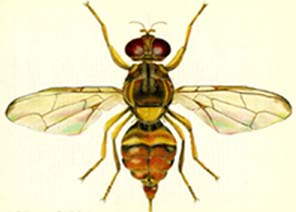 Guava Fruit Fly