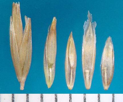 Poa secunda seed units