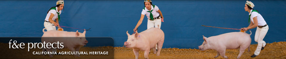 Fairs & Expositions protects California Agricultural Heritage - Pig Show