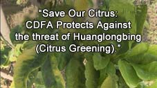 Save Our Citrus: CDFA Protects Against the threat of Huanglongbing